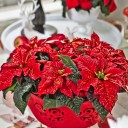 poinsecja-poinsecje-poinsettia-2013-decoration-10-pl.