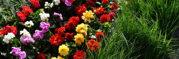 Rośliny rabatowe, materiał szkółkarski – zapraszamy!