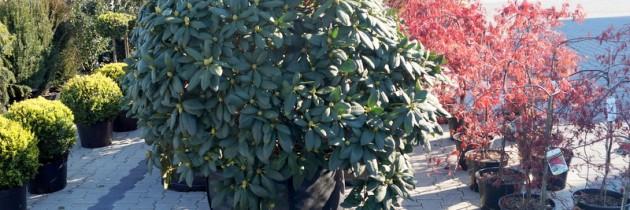Rośliny rabatowe, materiał szkółkarski…