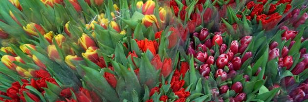Bogaty wybór tulipanów …