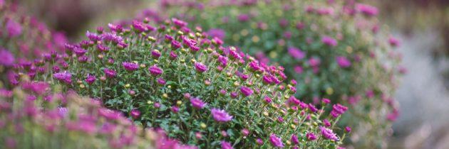 Wrzosy, wrzośce, chryzantemy, znicze, kwiaty sztuczne …