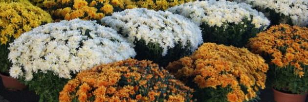 Znicze, chryzantemy, kwiaty sztuczne… zapraszamy na zakupy na rynku hurtowym!!!