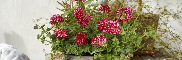 Zachwycająca bujność kwitnienia